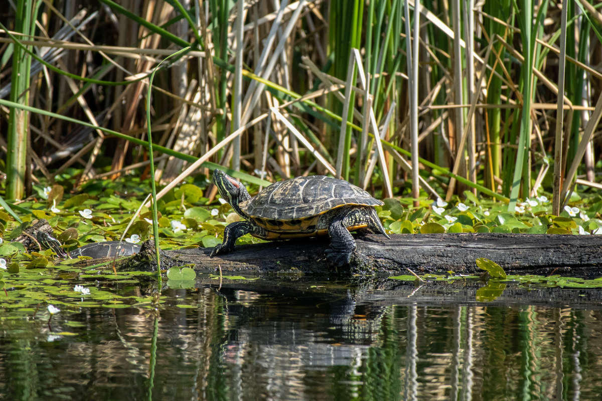 A Painted Turtle catching some sun, sitting on a log in a marsh area of the Rideau Canal.
