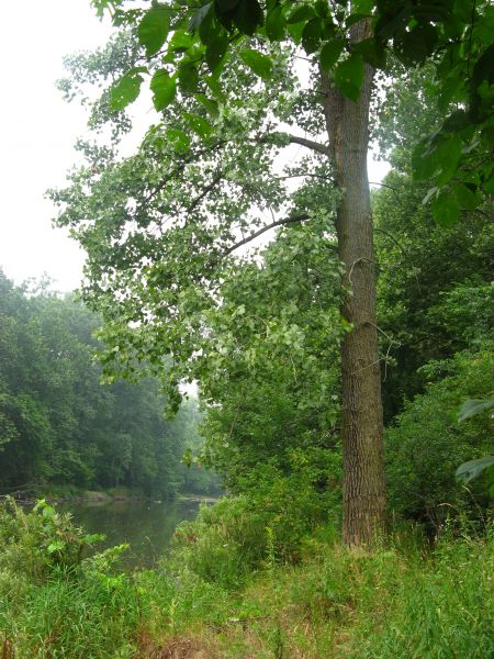 Eastern Cottonwood trees, a Carolinian species, are common along the Thames River. (Photo: UTRCA)